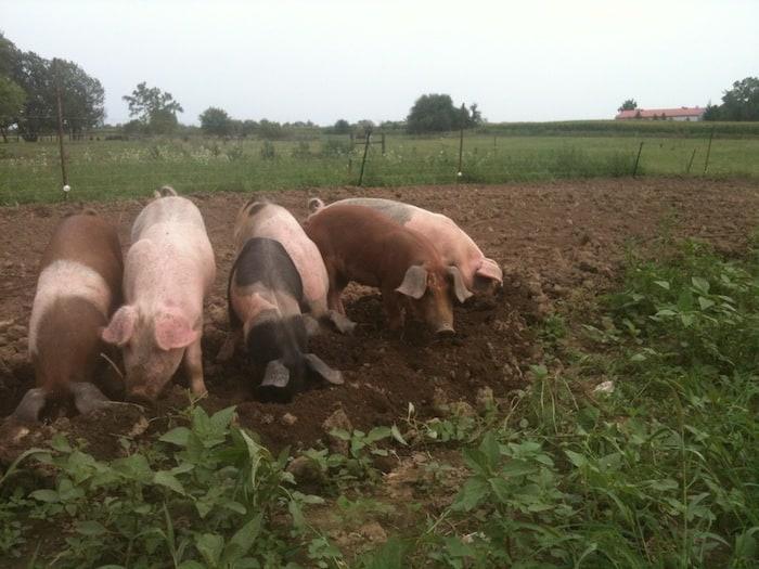 Ken Mills Pigs