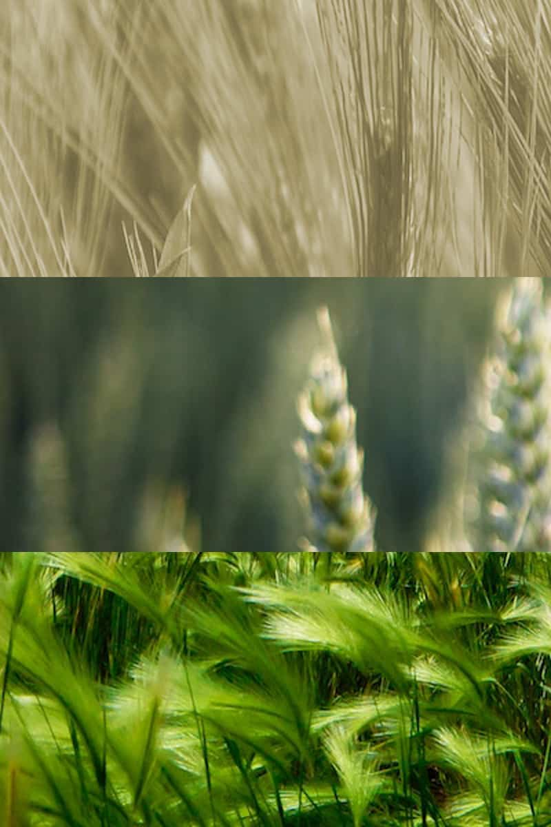 backgrounder-wheat-class-policy-cover