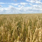 Backgrounder: Attack on Canadian Wheat Grading Framework