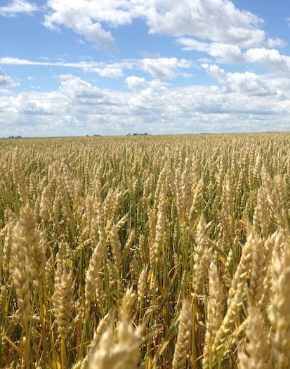 Backgrounder: Attack on Canadian Wheat Grading Framework