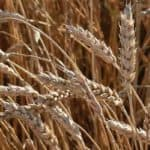 nfu-campaign-thumb-save-our-seed-wheat